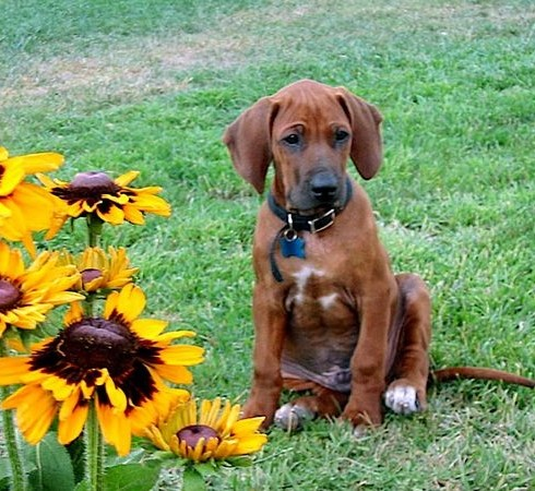 Ridgeback Puppy and flowers