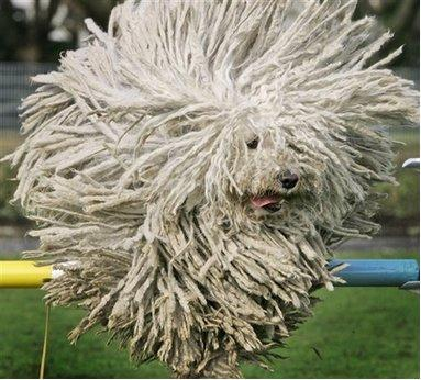 Dog Training Puli Image